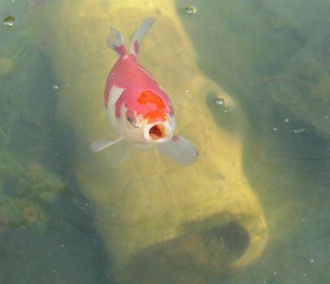 Les poissons de kathy78 for Poisson comete bassin