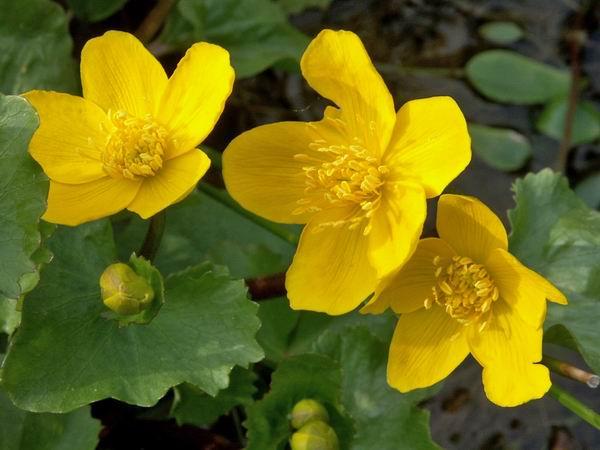 la fleur de Martin du 13 juin trouvée par Martine Fleurs-bassin-JY-6-Populage-des-marais